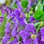 Klematis cveće sadnja orezivanje razmnožavanje prodaja i cena
