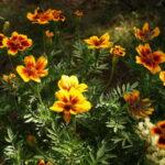 Kadifica sadnja u bašti i na terasi