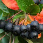 Sadnja aronija i uzgoj za sok od aronije