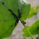 Biljne vaši suzbijanje prirodnim putem bez insekticida