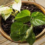 Zlatna puzavica (Đavolji bršljan) biljka koja prečišćava vazduh