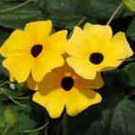Crnooka Suzana cveće