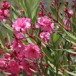 Oleander uzgoj orezivanje bolesti