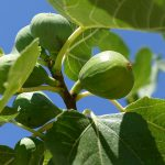 Uzgoj smokve u kontinentalnim uslovima