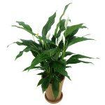Spatifilum biljka održavanje cena gde kupiti – mirni ljiljan