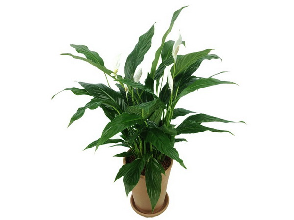 Spatifilum biljka održavanje cena gde kupiti – mirni ljiljan – Sadnja