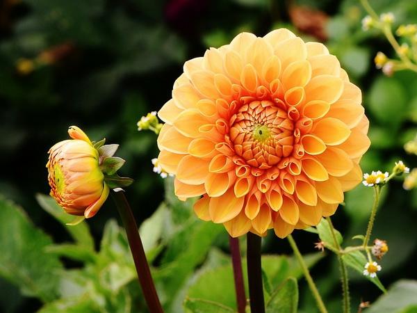 Dalija Cveće Kad Se Sade Uzgoj Nega I Slike Sadnja