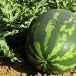 Uzgoj lubenica na otvorenom