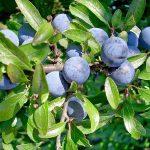 Trnjina uzgoj sok liker čaj i lekovita svojstva