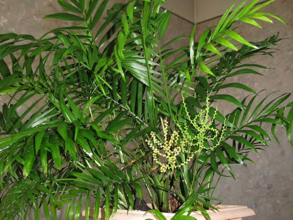Sobne palme – vrste palmi sa slikama – Sadnja Sadnja