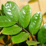 Sobna biljka zamija – Zamioculcas