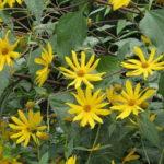 Čičoka biljka sadnja uzgoj recepti kao lek