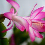 Božićni kaktus decembar – cveće koje cveta zimi
