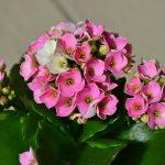 Kalanhoja cveće – nega održavanje razmnožavanje zalivanje cena