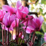 Ciklama cvet uzgoj i održavanje – boja, divlja ciklama