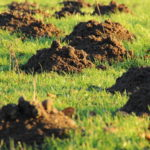 Kako se rešiti krtica u bašti dvorištu travnjaku