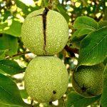 Kako se sadi orah – sorte uzgoj prinos i isplativost