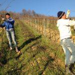 Rezidba vinove loze za početnike