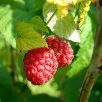 Folijarna prihrana maline preko lista i osnovno đubrenje