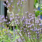 Verbena cveće – uzgoj održavanje čaj biljka protiv vampira