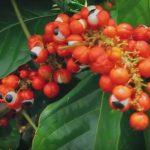 Šta je amazonsko oko