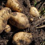 Kako se sadi krompir