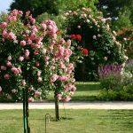 Stubaste ruže stablašice