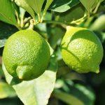 Kako posaditi limun u saksiji