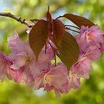 Japanska trešnja sadnja uzgoj slike