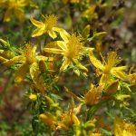 Kantarion biljka – kako se pravi kantarionovo ulje recept