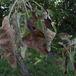 Zaštita kajsije i šljive od monilije