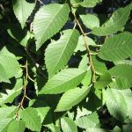 Sibirski brest drvo – čudesna živa ograda