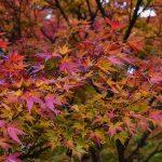 Japanski javor crveni – ukrasno drvo za dvorište