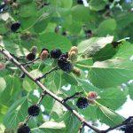 Dud voće – beli i crni