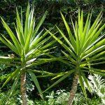 Juka drvo života nega održavanje presađivanje cena