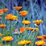 Neven cvet uzgoj i lekovitost – nevenova mast i čaj