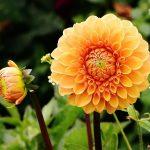 Dalija cveće kad se sade uzgoj nega i slike