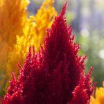 Petlova kresta cveće uzgoj slike
