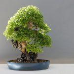 Kako napraviti bonsai drvo cena prodaja značenje