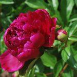 Božur cveće sadnice nega vrste slike
