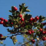 Glog drvo – kapi i čaj od gloga