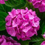 Hortenzija sadnja uzgoj u saksiji presađivanje orezivanje razmnožavanje