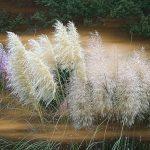 Pampas trava uzgoj održavanje gde kupiti sadnice i cena