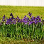 Perunika (Iris) cvet kao lek značenje slike