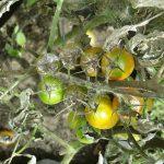 Bolesti i zaštita paradajza u plasteniku i na otvorenom slike