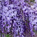 Glicinija slike sadnice uzgoj rezidba razmnožavanje – Plava kiša