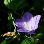 Zvončići cveće uzgoj – Campanula