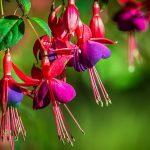 Fuksija cveće boja uzgoj (minđušice)