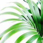 Sobne palme – vrste palmi sa slikama