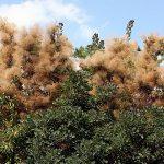Drvo rujevina slike gde raste šta leči čaj – Cotinus coggygria biljka